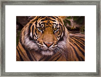 Sumatran Tiger Framed Print by Chad Davis