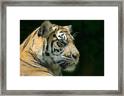 Sumatran Tiger Framed Print by Mary Lane
