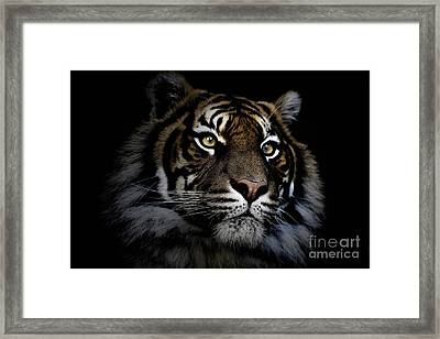 Sumatran Tiger Framed Print by Avalon Fine Art Photography