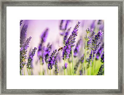 Summer Lavender  Framed Print by Nailia Schwarz
