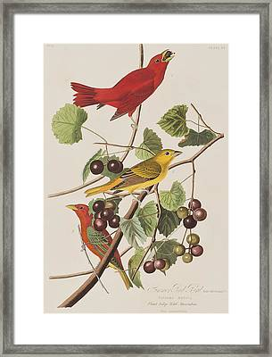 Summer Red Bird Framed Print by John James Audubon