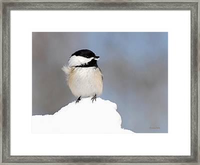 Summit - Black-capped Chickadee Framed Print by Christina Rollo