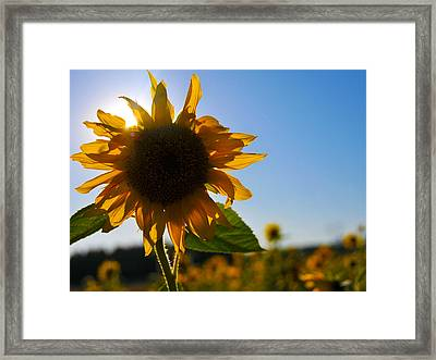 Sun And Sunflower Framed Print by Brian Bonham