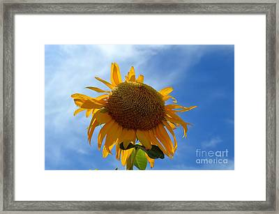 The Imperfect Sun Flower In The Blue Sky Framed Print by Sontia Hall