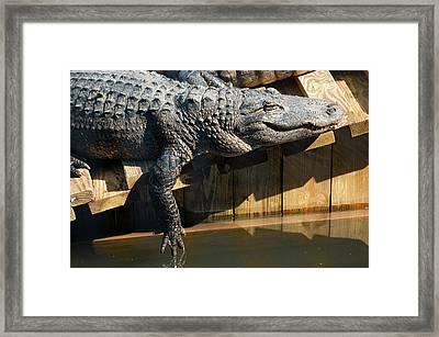 Sunbathing Gator Framed Print by Carolyn Marshall