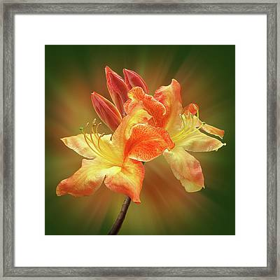 Sunburst Orange Azalea Framed Print by Gill Billington