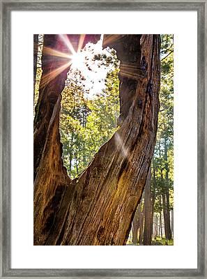 Sunburst Peeking Through Old Tree In Forest Framed Print by Susan Schmitz