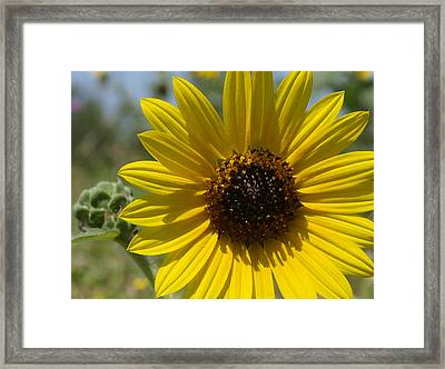 Sunflower 9  Framed Print by James Granberry