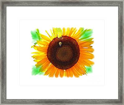 Sunflower And Bumble Bee Transparent Photo-painting Framed Print by Shelly Weingart