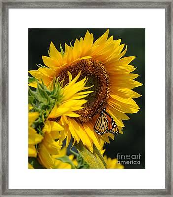 Sunflower And Monarch 3 Framed Print by Edward Sobuta