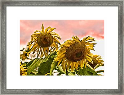 Sunflower Art 1 Framed Print by Edward Sobuta