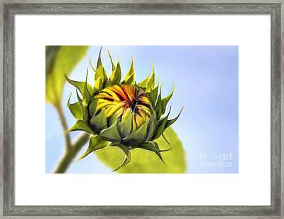 Sunflower Bud Framed Print by John Edwards
