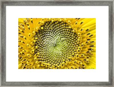Sunflower Central Framed Print by Fran Gallogly