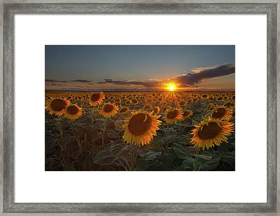 Sunflower Field - Colorado Framed Print by Lightvision, LLC