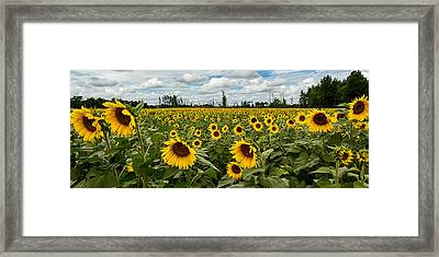 Sunflower Field Panoramic Framed Print by Dale Kincaid