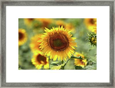 Sunflower Framed Print by Geraldine DeBoer