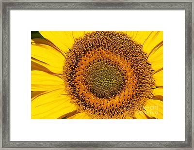 Sunflower Helianthus Framed Print by Gerard Lacz