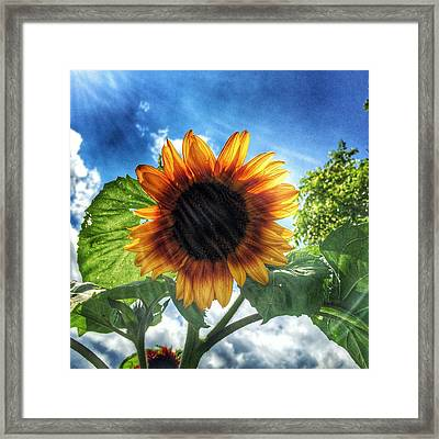 Sunflower Framed Print by Jame Hayes
