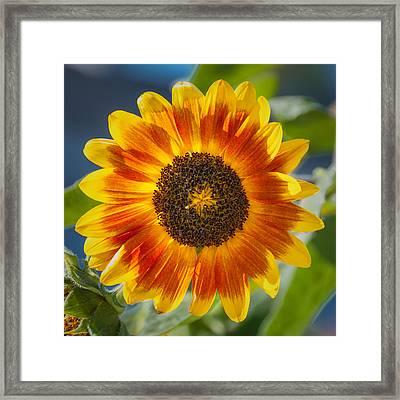 Sunflower Framed Print by Joseph Smith