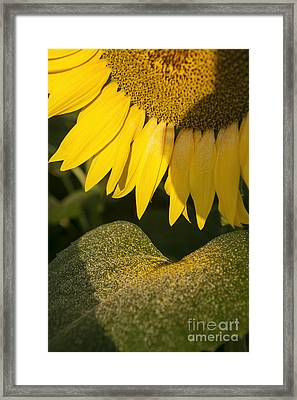 Sunflower Framed Print by Luigi Morbidelli