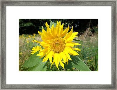 Sunflower Framed Print by Mark Severn