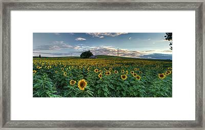Sunflower Panorama Framed Print by Mark Kiver