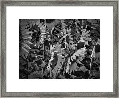 Sunflower Patch 001 Bw Framed Print by Lance Vaughn