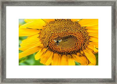 Sunflower Patch Framed Print by Pat Cook