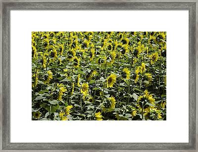Sunflower Patterns Framed Print by Fran Gallogly
