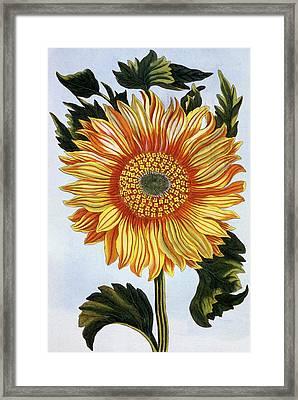 Sunflower Framed Print by Pierre-Joseph Buchoz