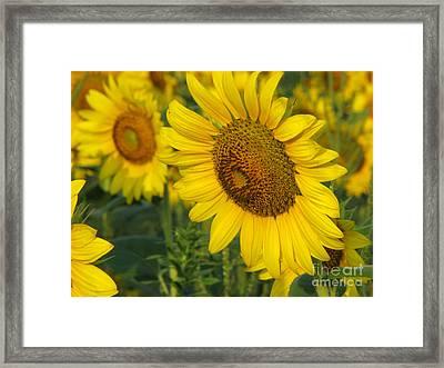 Sunflower Series Framed Print by Amanda Barcon