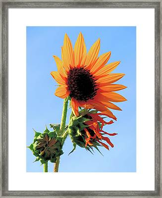 Sunflower - Stages Of Growth Framed Print by Rona Black