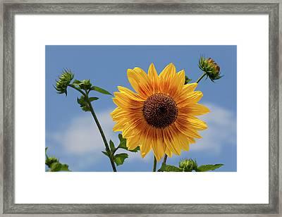 Sunflower Surprise Framed Print by Robert Ullmann