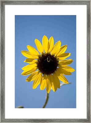 Sunflowers And Bumble Bees In Eastern Framed Print by Joel Sartore