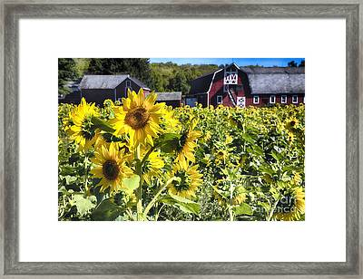 Sunflowers Field With A  Red Barn Framed Print by George Oze