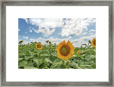 Sunflowers Reach Framed Print by Tod and Cynthia Grubbs