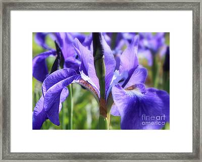 Sunlight On Blue Irises Framed Print by Carol Groenen