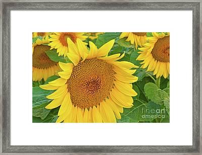 Sunloving Sunflowers Framed Print by Regina Geoghan