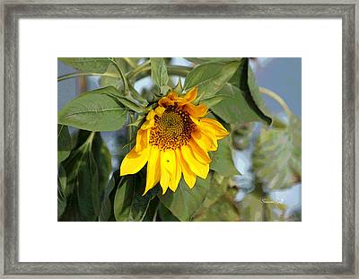 Sunsational II Framed Print by Suzanne Gaff