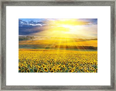 Sunset Over The Field Of Sunflowers Against A Cloudy Sky Framed Print by Caio Caldas