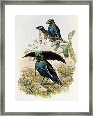 Superb Bird Of Paradise  Framed Print by John Gould