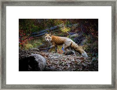 Surprising A Red Fox Framed Print by John Haldane