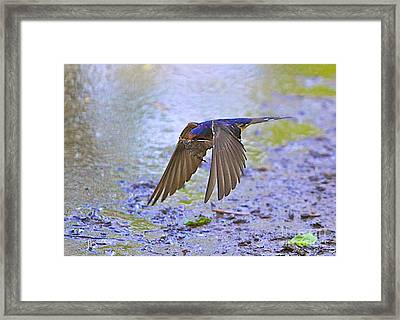 Swallow Tail Framed Print by Robert Pearson