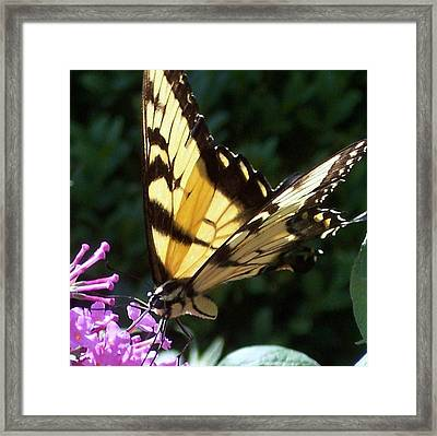 Swallowtail 2 Framed Print by Anna Villarreal Garbis