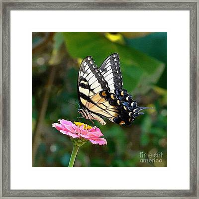 Swallowtail Butterfly 3 Framed Print by Sue Melvin
