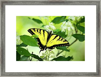 Swallowtail Butterfly Feeding On Flowers Framed Print by Christina Rollo