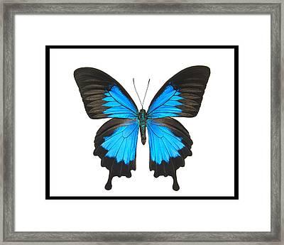 Swallowtail Butterfly Framed Print by Lisbet Sjoberg