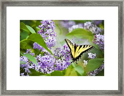 Swallowtail Butterfly On Lilacs Framed Print by Christina Rollo