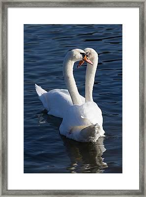 Swan Courtship  Framed Print by David Pyatt