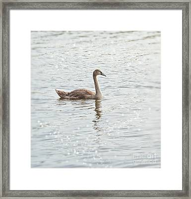 Swan Framed Print by SK Pfphotography